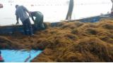 카리브해 덮친 2000만톤의 '모자반'